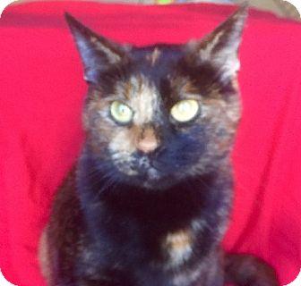 Domestic Shorthair Cat for adoption in pasadena, California - KAT