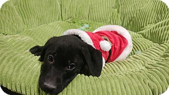 Labrador Retriever Mix Puppy for adoption in Forest Hill, Maryland - Kringle