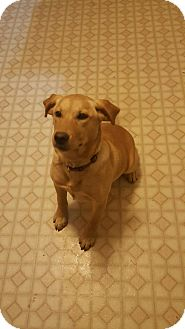 Labrador Retriever Mix Dog for adoption in Baltimore, Maryland - Skye