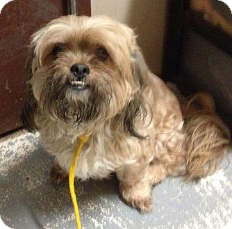 Shih Tzu Dog for adoption in Freeport, New York - Chelsea