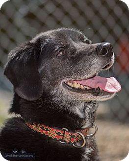 Labrador Retriever Mix Dog for adoption in Lowell, Massachusetts - Maury