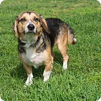 Beagle Dog for adoption in Boston, Massachusetts - Drew