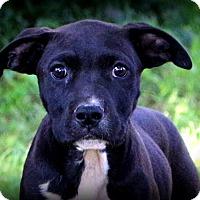 Adopt A Pet :: Chance the Puppy! - Glastonbury, CT