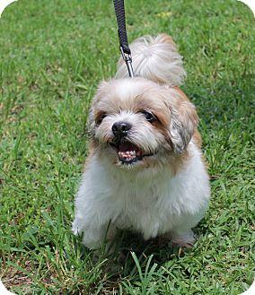 Shih Tzu Mix Dog for adoption in Boca Raton, Florida - Buster