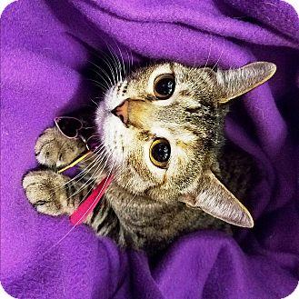 Domestic Shorthair Cat for adoption in Watauga, Texas - DC