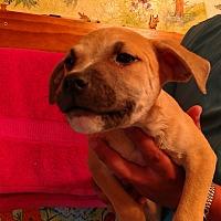 Adopt A Pet :: Suzie Q - st. pete., FL