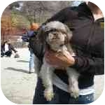 Shih Tzu Dog for adoption in Long Beach, New York - Brooklyn