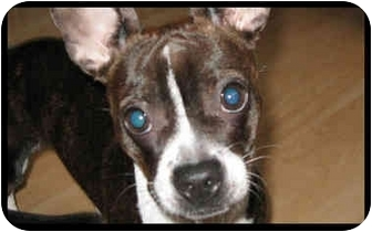Boston Terrier/Jack Russell Terrier Mix Puppy for adoption in Montreal, Quebec - Zoe