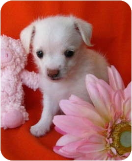 Havanese/Terrier (Unknown Type, Small) Mix Puppy for adoption in Irvine, California - True