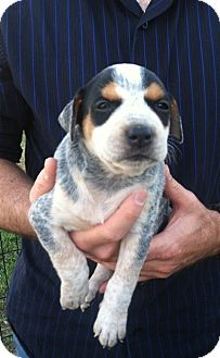 Australian Cattle Dog Mix Puppy for adoption in White Settlement, Texas - Lady's Belle Starr-adopt pend