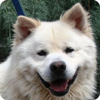 Golden Retriever/Chow Chow Mix Dog for adoption in Gilbert, Arizona - Bubba