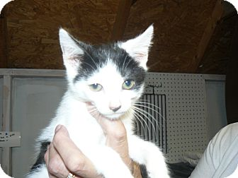 Domestic Mediumhair Kitten for adoption in Island Park, New York - MooMoo