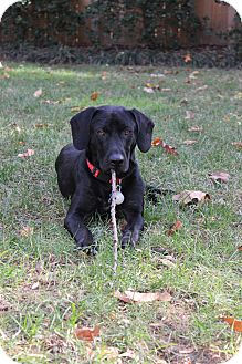 Labrador Retriever Mix Dog for adoption in Alexandria, Virginia - Pepper