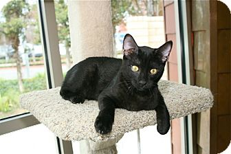 Domestic Shorthair Kitten for adoption in Coronado, California - Petrie