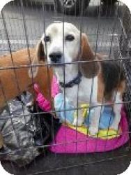 Beagle Mix Dog for adoption in Las Vegas, Nevada - Bugaloo