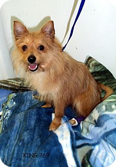 Cairn Terrier/Pomeranian Mix Dog for adoption in Waldorf, Maryland - King #269