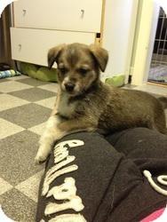 Spaniel (Unknown Type)/Border Collie Mix Puppy for adoption in Saskatoon, Saskatchewan - Petunia