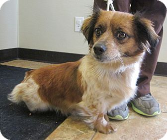 Corgi/Sheltie, Shetland Sheepdog Mix Dog for adoption in Oak Ridge, New Jersey - Tiara
