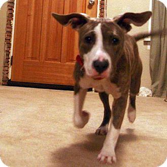 American Staffordshire Terrier Dog for adoption in Seahurst, Washington - Junebug