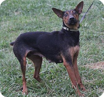 Miniature Pinscher Mix Dog for adoption in Colonial Heights, Virginia - Gigi