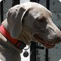 Adopt A Pet :: Lily - Sun Valley, CA