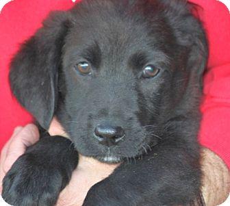 Labrador Retriever Mix Puppy for adoption in Cranston, Rhode Island - Apple
