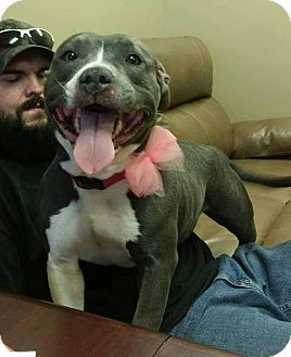 American Staffordshire Terrier Dog for adoption in Lima, Ohio - Kora