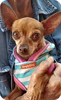 Chihuahua Mix Dog for adoption in San Diego, California - Cricket