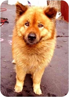 Belgian Tervuren/Chow Chow Mix Dog for adoption in New York, New York - Zena