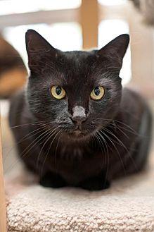 Bombay Cat for adoption in Stafford, Virginia - Trinity