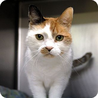 Calico Cat for adoption in Hayden, Idaho - Bijou