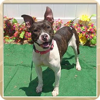 American Pit Bull Terrier Mix Dog for adoption in Marietta, Georgia - GIGGLES