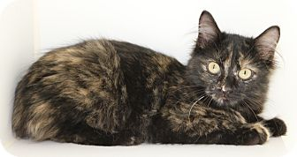 Domestic Mediumhair Kitten for adoption in Council Bluffs, Iowa - Mallory