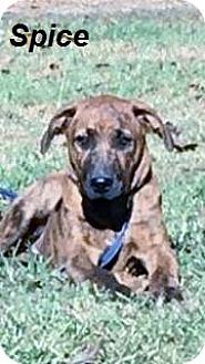 Boxer Mix Puppy for adoption in East Hartford, Connecticut - Spice in CT