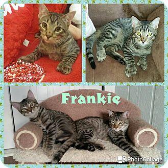 Hemingway/Polydactyl Kitten for adoption in Arlington/Ft Worth, Texas - Frankie
