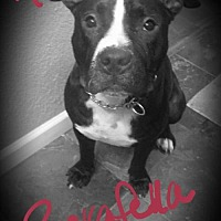 American Pit Bull Terrier Dog for adoption in Fulton, Missouri - Ronan - Florida
