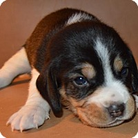Beagle Mix Puppy for adoption in Alpharetta, Georgia - Hijinks