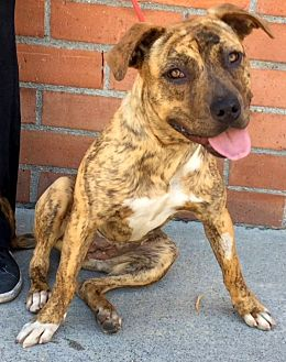Boxer/Pit Bull Terrier Mix Dog for adoption in Los Angeles, California - SELMA (video)