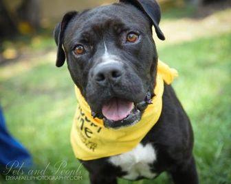 American Bulldog Mix Dog for adoption in Miami, Florida - S/C Bruce