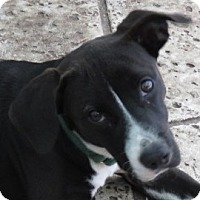 Adopt A Pet :: Eve~ Endearing! - St Petersburg, FL