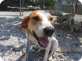Hound (Unknown Type) Dog for adoption in Batesville, Arkansas - Farmer