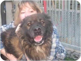 Belgian Tervuren/German Shepherd Dog Mix Dog for adoption in Los Angeles, California - Dallas the Gentle Giant