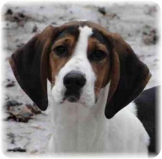 Treeing Walker Coonhound/Coonhound Mix Puppy for adoption in Wyoming, Minnesota - Ursala- Cute!