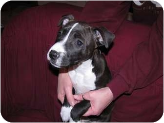 American Pit Bull Terrier Mix Puppy for adoption in Wapato, Washington - Bailey