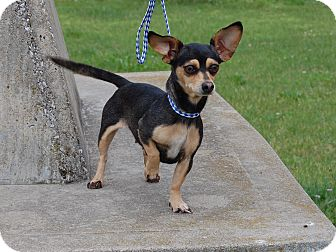 Chihuahua Dog for adoption in North Judson, Indiana - Dotty