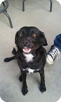 Labrador Retriever Mix Puppy for adoption in Lake Forest, California - Angel