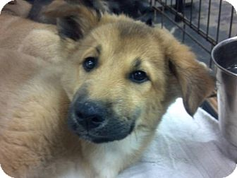 Shepherd (Unknown Type) Mix Puppy for adoption in Lexington, Kentucky - Marley