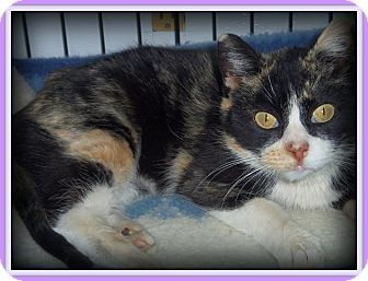Calico Cat for adoption in Medford, Wisconsin - LITTLE JENNY