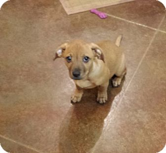 Chihuahua/Dachshund Mix Puppy for adoption in Baton Rouge, Louisiana - Bitsy