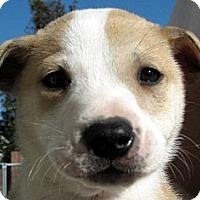 Adopt A Pet :: Baby Dickens - Oakley, CA